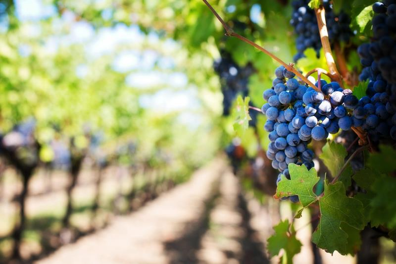 English Wine: a Growing Industry